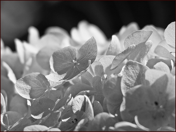 valenttin bouledeneige floare flower fleur