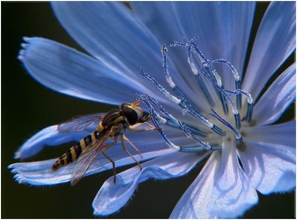 valenttin blue insect cicoare floare fleur