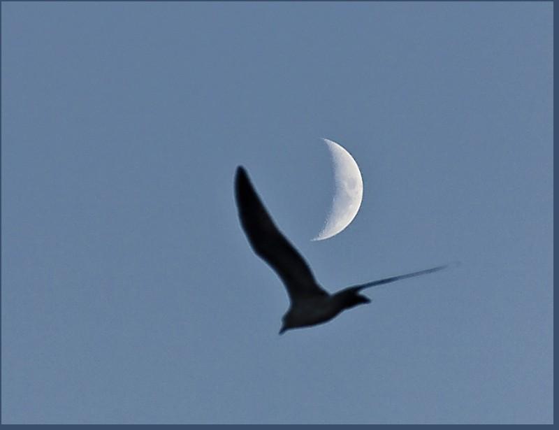 valenttin pescarus luna lune moon mouette