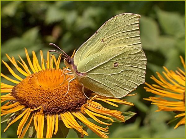 valenttin fluture