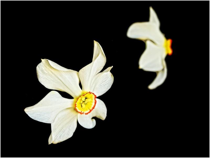 valenttin narcisa daffodil