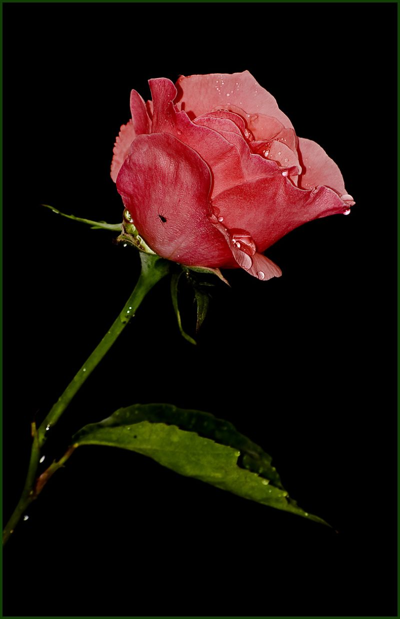 night, rain, rose...