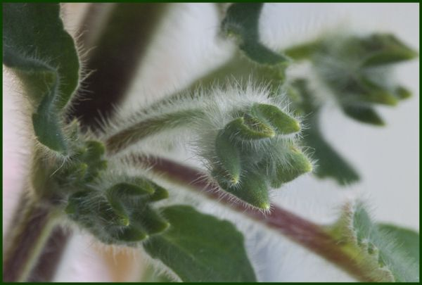 herisson vegetal