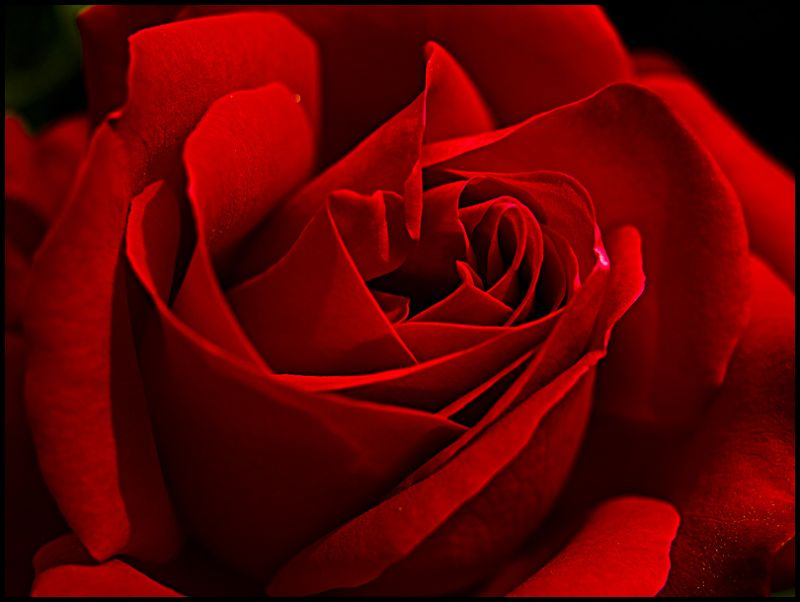 red rose for you