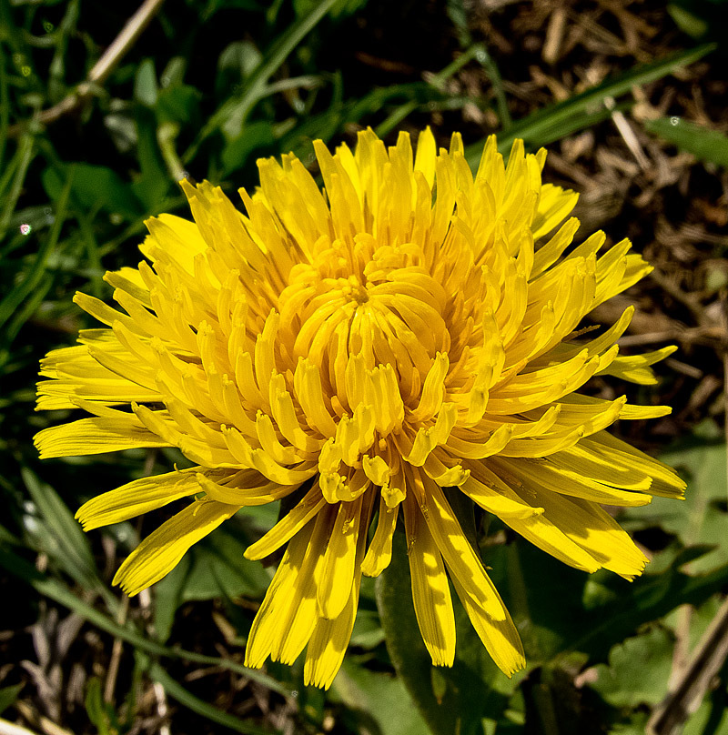 color: yellow - the first dandelion