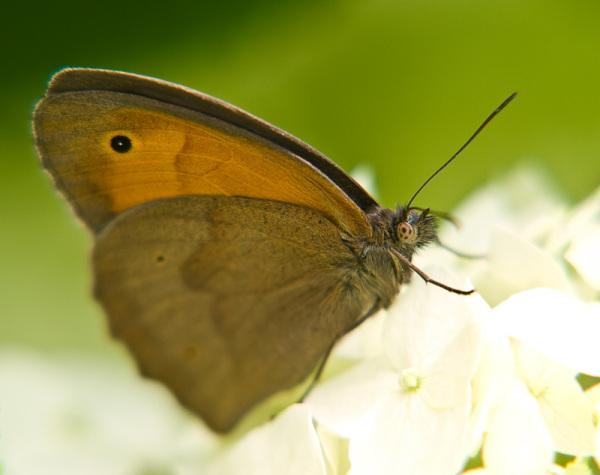 brown model