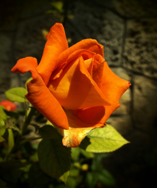 rose valenttin trandafir