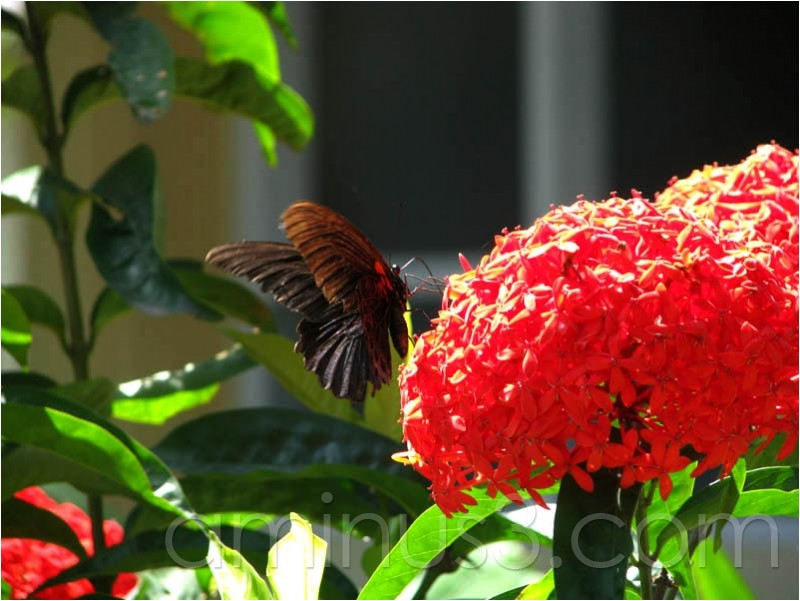 kupu-kupu, butterfly