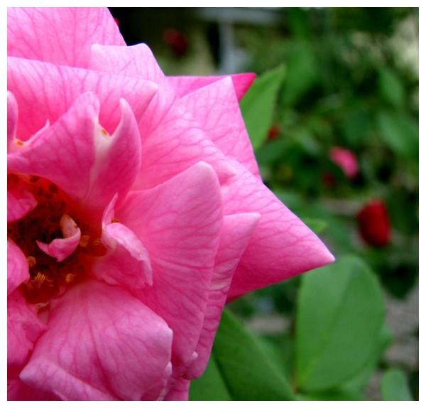 Curly Rose