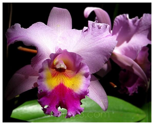 orchid, anggrek