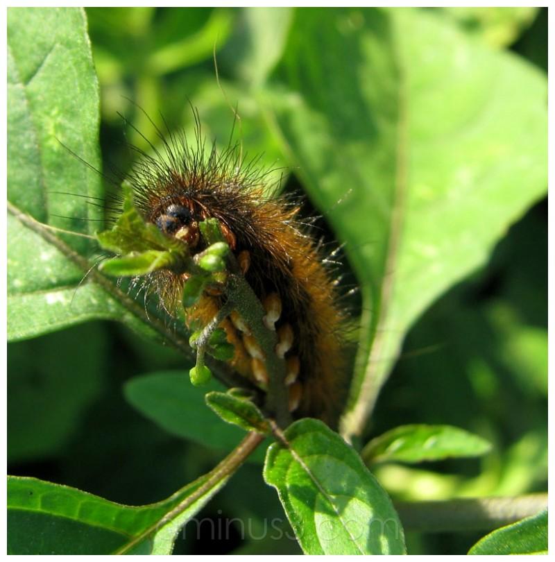ulat bulu, caterpillar