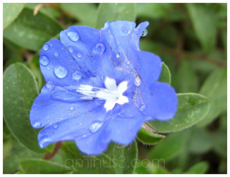 Small Blue Flower [1]