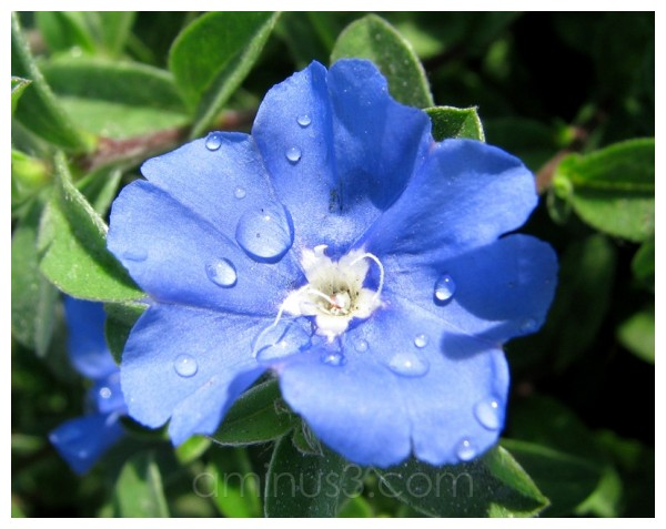 Small Blue Flower [2]