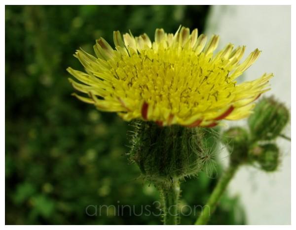 Hairy-Sunny-Wild-Yellow Flower [2]