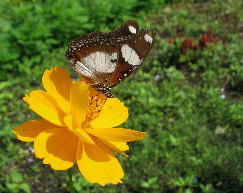 butterfly, kupu-kupu