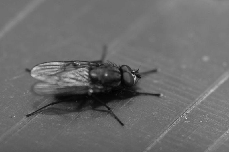Black & White Fly