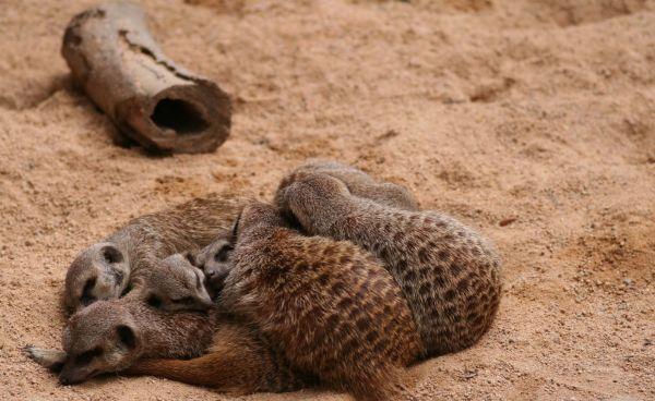 Meerkats in Barcelona Zoo (06/06)