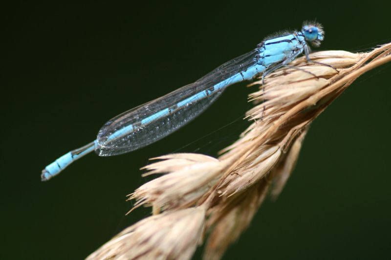 Damselfly at the Basingstoke Canal