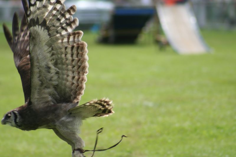 Another owl in flight shot