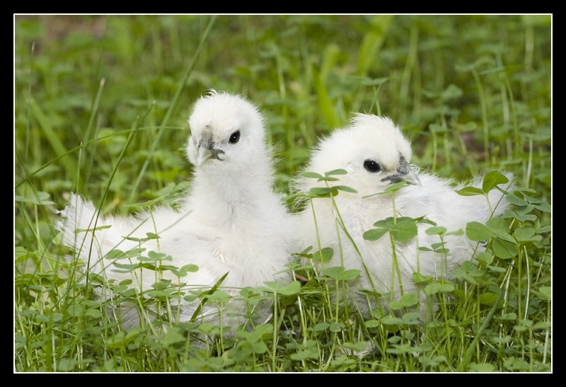 Silkies in the grass