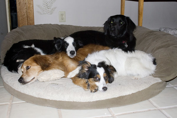 How many dogs can fit in a bed?
