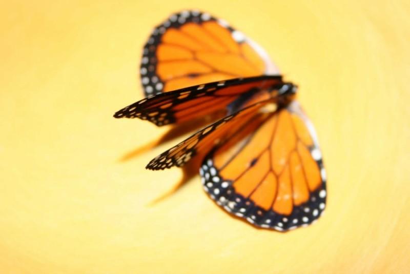 butterfly on a butter plate bittersweet