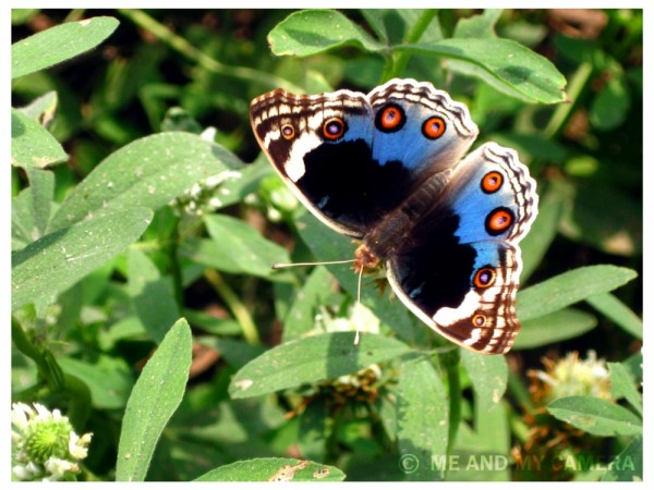 Blue Butterfly on Green Grass