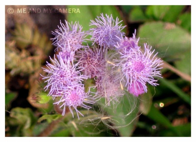 Purple Porqupines