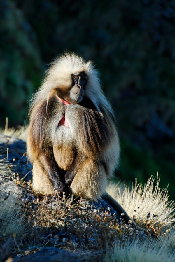 Gelada Baboon in the Simien Mountains, Ethiopia