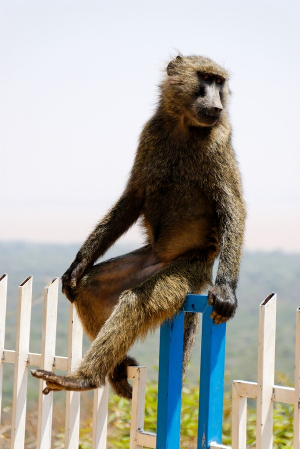Baboon sitting on a fence, Arbaminch, Ethiopia