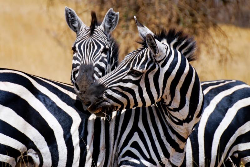 Zebras in Nechisar park, Arbaminch, Ethiopia