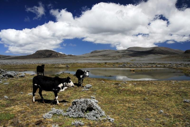 Cows on Saneti plateau, Bale, Ethiopia