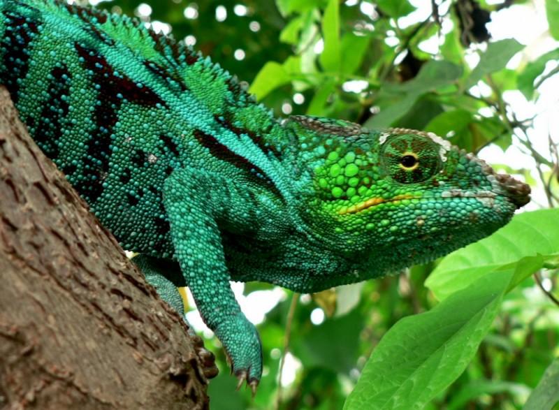 Colourful cameleon, Madagascar