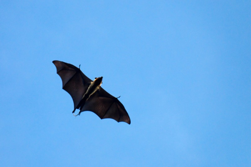 Fruitbat flying over Colombo