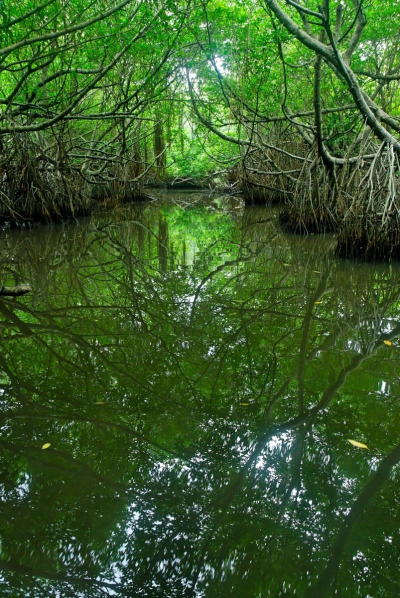 Mangrove of Bentota Ganga, Sri Lanka