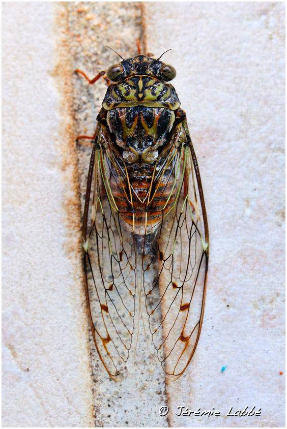 Cicada, Lubéron, France