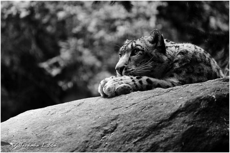 Snow Leopard in Bronx Zoo, New York