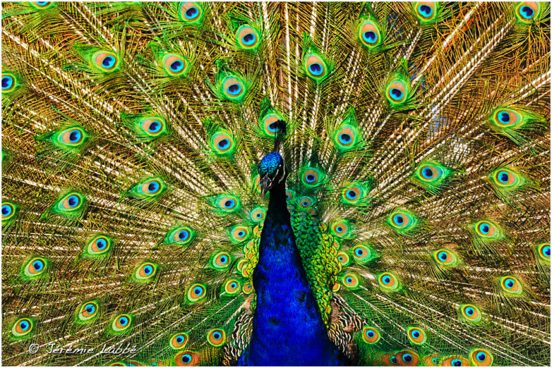 Peacock courting in Bronx Zoo, New York