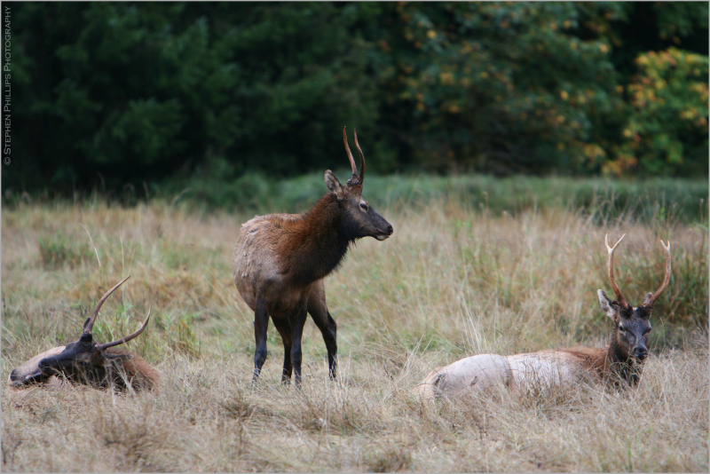 Elk - male elk duringrutting season