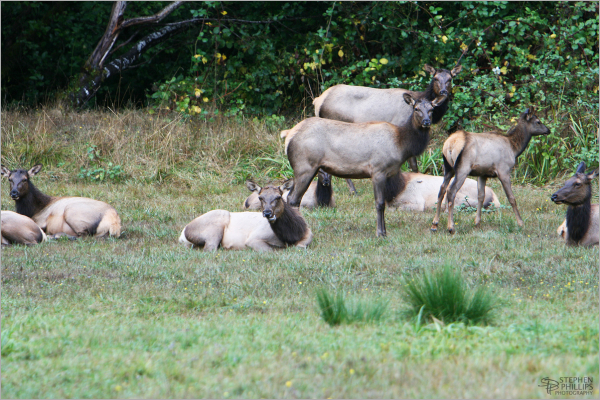 elk - female elk herd in Humboldt County