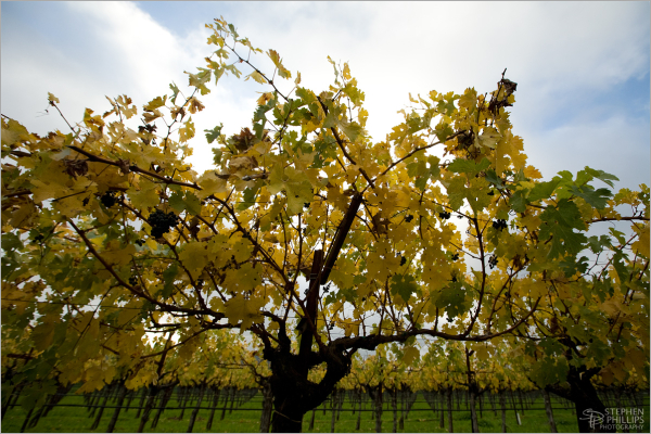 Autumn in the Napa Valley