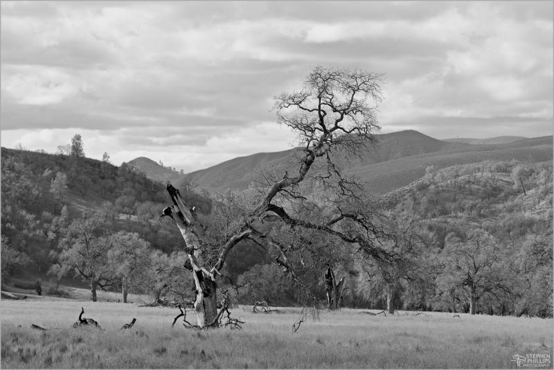 dead oak along Berryessa-Knoxville Road