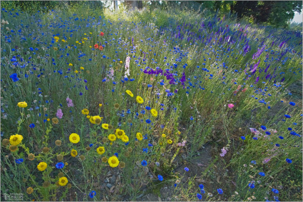 Wildflowers in Sonoma County, California