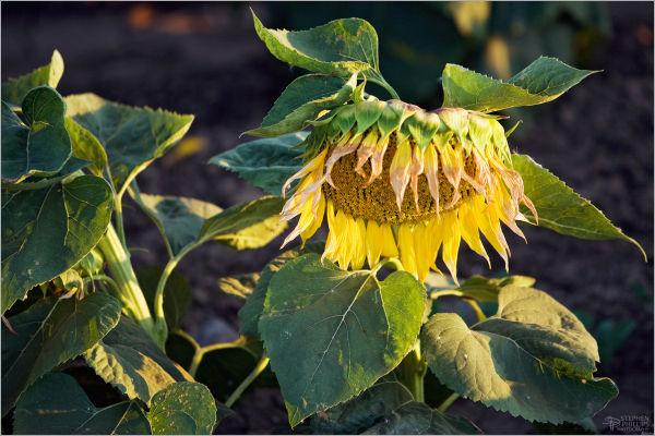 sunflower at sundown