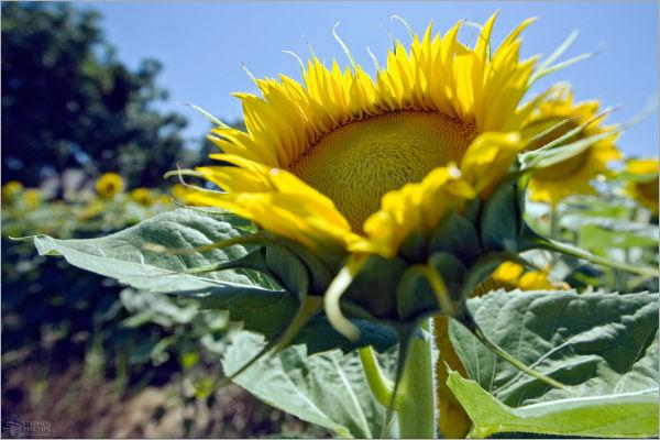 sunflower shinning in the sun