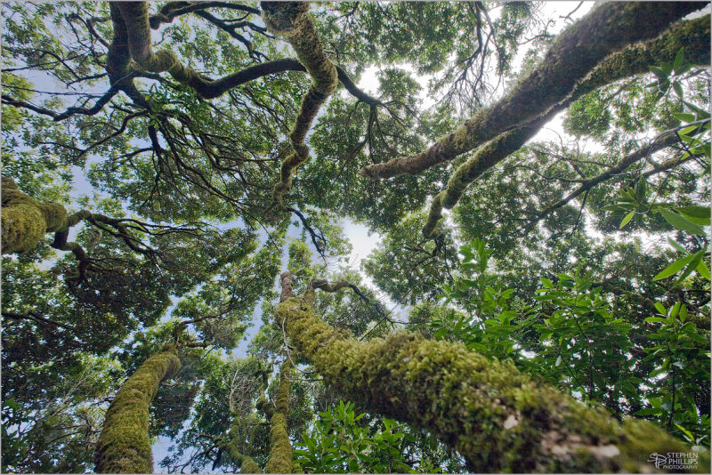 Canopy of Bay Laurel trees at Tomales Bay