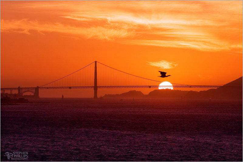 Flight of Goose above Golden Gate sunset