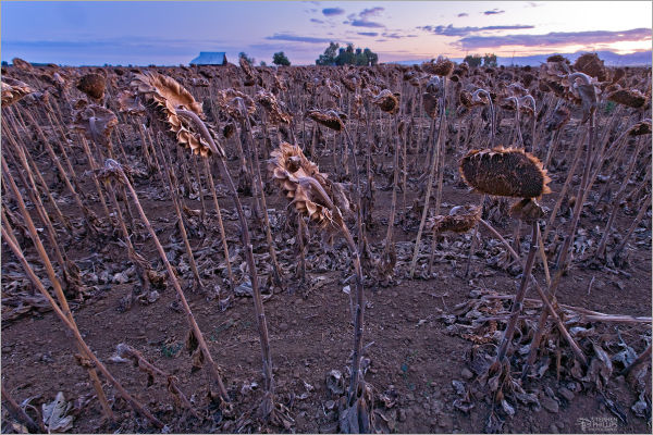 Sunflowers gone to seed at sunset
