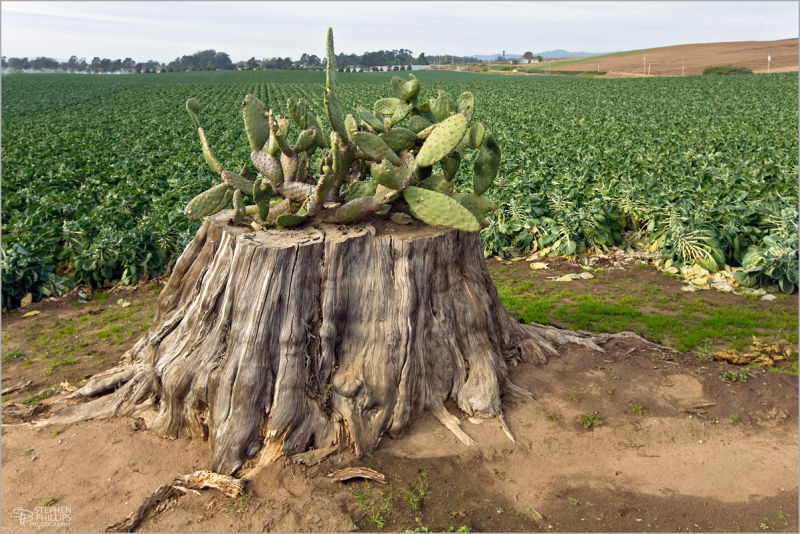 odd centerpiece in a field of brussel sprouts