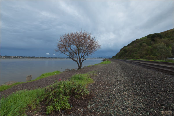 lone plum tree at Port Costa California